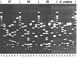 Fig. 2. Electrophoretic separation of cleavage of amplified DNA 16S RNA genes from the strains-producers of thermolabile alkaline phosphatase, by restriction endonucleases Sse9I (2), Tru9I (3), BsuRI (4), MspI (5), BstMBI (6) and RsaI (7). Run 1 - molecular weight markers.